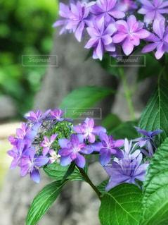 近くに紫の花のアップの写真・画像素材[1227845]
