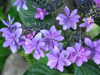 近くに紫の花のアップの写真・画像素材[1227859]
