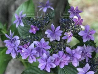 近くに紫の花のアップの写真・画像素材[1227860]