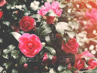 椿の花の写真・画像素材[1622081]