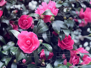 椿の花の写真・画像素材[1622082]