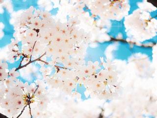 桜の写真・画像素材[3097270]