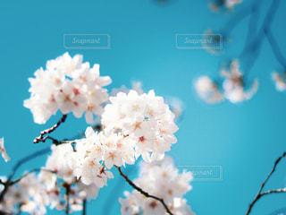 桜の写真・画像素材[3097269]