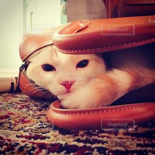 猫,にゃんこ,猫が好き,ねこ,子猫,きなこ,かくれんぼ,スコティッシュフォールド,ぬこ,こねこ,かばん,かばん猫