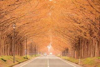 紅葉のメタセコイア並木の写真・画像素材[1181153]