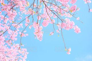 青空と満開の河津桜の写真・画像素材[1181156]
