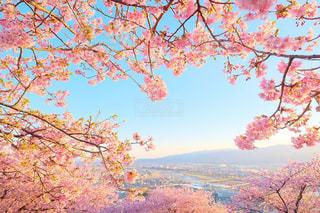 松田山ハーブガーデンの河津桜の写真・画像素材[1181157]