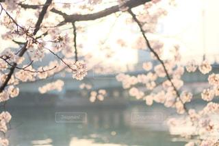 大阪のビジネス街で撮った桜。朝日が桜に差し込んで、少し切ない気持ちになります。の写真・画像素材[1181159]