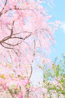 枝垂れ桜の写真・画像素材[1181160]