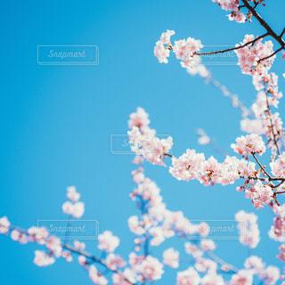 青空と桜 - No.1077612