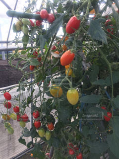 トマトの写真・画像素材[306174]