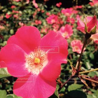 花の写真・画像素材[306467]