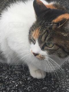 猫の写真・画像素材[306552]