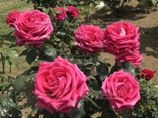 ピンクの花の群しの写真・画像素材[2433476]
