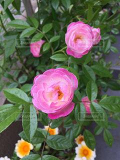 花の写真・画像素材[481511]