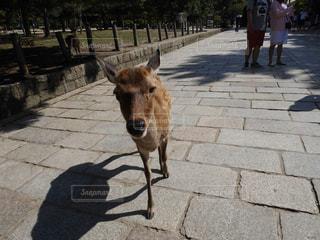 カメラ目線の鹿 - No.751427