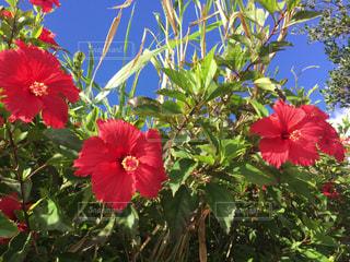 沖縄の道端に咲くハイビスカスの写真・画像素材[805321]