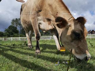 草を食べるジャージー牛の写真・画像素材[805328]