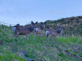 宗谷岬付近の丘陵地帯にて発見した鹿たちの写真・画像素材[1395344]