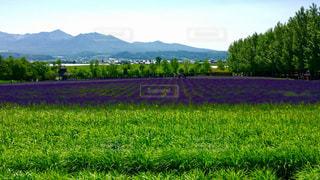富良野のラベンダー畑の写真・画像素材[1395357]