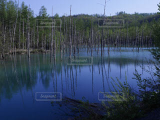 青い池の散策の写真・画像素材[1413877]