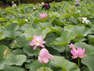 千葉公園のハスの花の写真・画像素材[1414612]