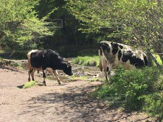 奥日光 光徳牧場の乳牛の写真・画像素材[1414613]