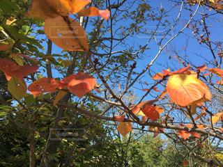 木からぶら下がってりんご - No.857347