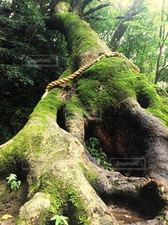 神木の写真・画像素材[307877]