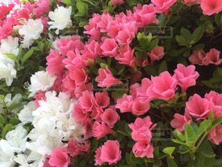 咲き溢れるツツジの写真・画像素材[849173]