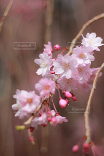 しだれ桜の写真・画像素材[1027332]