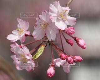 しだれ桜のアップの写真・画像素材[1027333]
