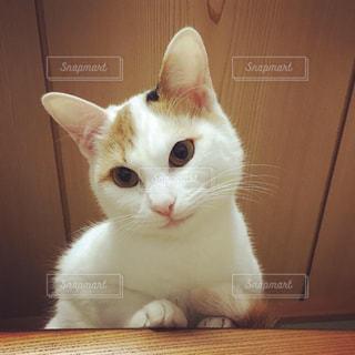 茶色と白猫がテーブルに座っての写真・画像素材[1693264]