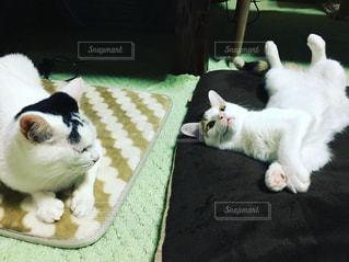 白い面の上に横たわる猫の写真・画像素材[1693265]