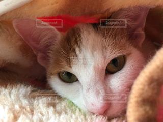 横になって、カメラを見ている猫の写真・画像素材[1693706]