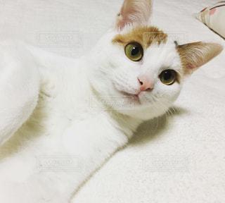 体の白い三毛猫の写真・画像素材[1758670]