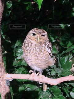 フクロウの写真・画像素材[1239462]