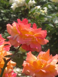 花の写真・画像素材[308666]