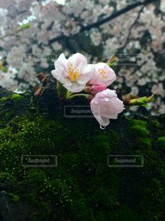 春 - No.308701