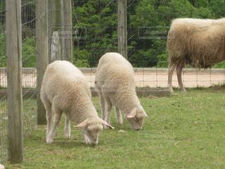 羊の写真・画像素材[309728]