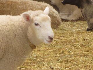 羊の写真・画像素材[309729]