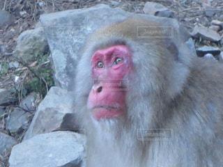 猿の写真・画像素材[310901]