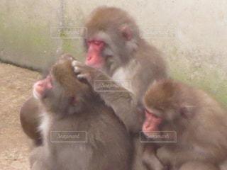 猿の写真・画像素材[312262]