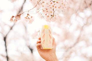桜とフルーツサンドの写真・画像素材[1061048]