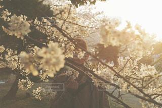 夕暮れ時の桜 - No.1099520
