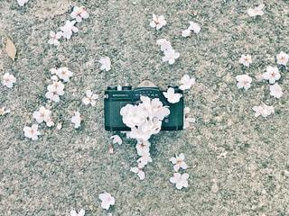 桜とフィルムカメラの写真・画像素材[1099522]