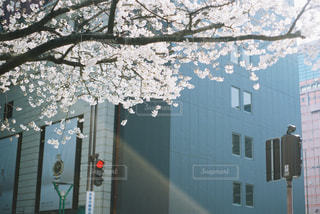 天神の桜の写真・画像素材[1099523]