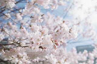 青空と桜の写真・画像素材[1099528]