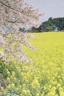 フィルムで春を切り取るの写真・画像素材[1107698]
