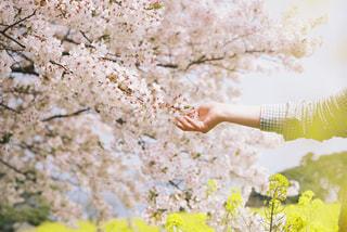 菜の花と桜の写真・画像素材[1107699]